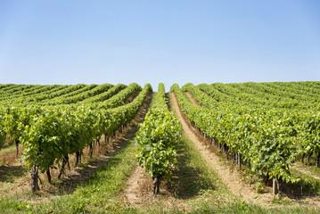 Rangée de vigne