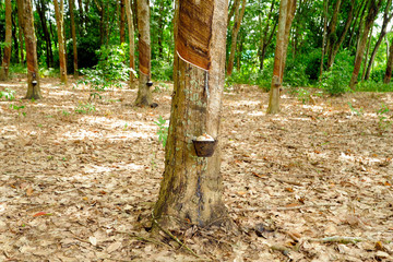 Para Rubber Trees