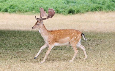 wild fallow stag running on grassland