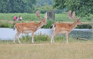 Fallow stags watched by family across river