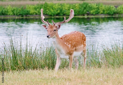 fallow stag deer next to river
