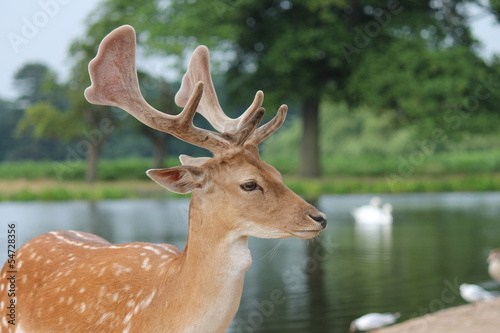 close up profile of fallow stag deer by river
