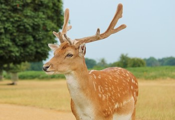 single stag fallow deer