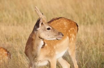 young baby deer