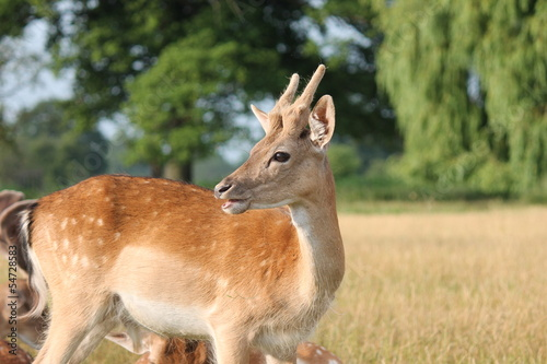 young deer looking back
