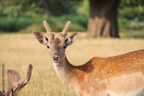 fallow deer looking at camera close up