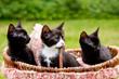 3 niedliche Katzenbabies in einem Korb