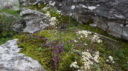 Wild thyme and saxifraga grown in rock in alps