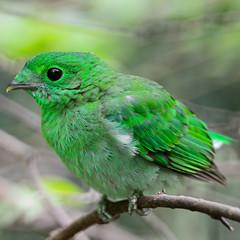 female Green Broadbill