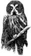 Bird Great Grey Owl