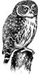Bird Eurasian Pygmy Owl