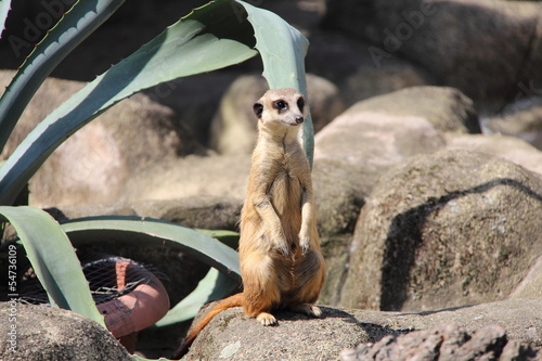 Lonely meerkat on guard its territory