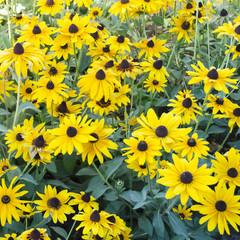 black eyed susan flowers bed
