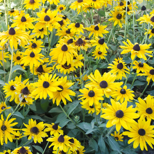 black eyed susan flowers bed