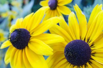 black eyed susan flowers