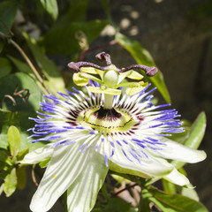 passiflora flower closeup view