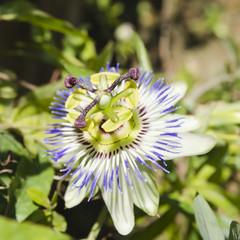 passiflora flower macro view