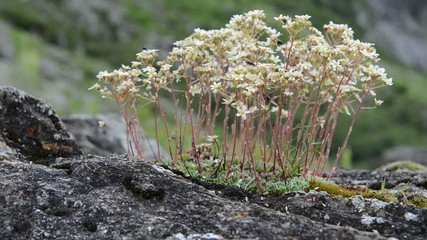 fly on Saxifraga flower in alps
