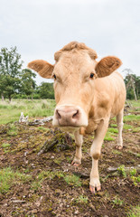 Detailed portrait of a pale brown cow