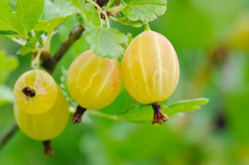Ripe gooseberries are on a branch