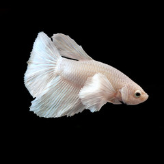 siamese fighting fish, betta splendens isolated on black backgro