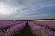 Fields of Lavender daily view