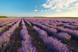 Fields of Lavender against the blue sky