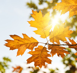 Autumn leaves with sunlight