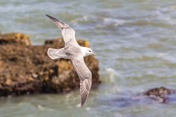Seagull at the coast, Iceland