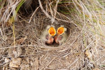 Маленькие птенцы в гнезде