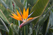 Bird of Paradise, exotic tropical flower at La Palma