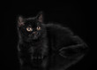 Black british kitten on black background