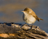 Cape reed warbler sitting on wood on pond