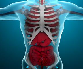 Intestino polmoni cassa toracica corpo umano scheletro raggi x