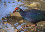 Purple swamphen bird