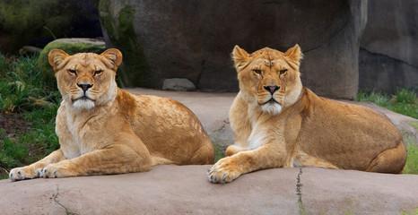 Pair of Female Lions
