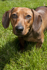Close up of dachshund.