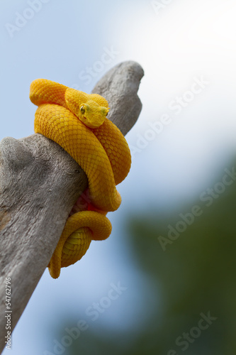 Yellow eyelash viper coiled around limb