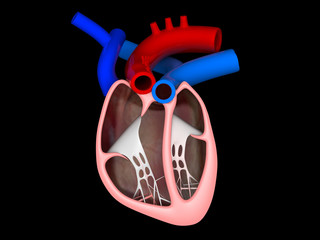 Heart cross section labeled