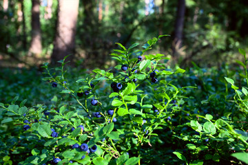 blueberry shrubs in the forest