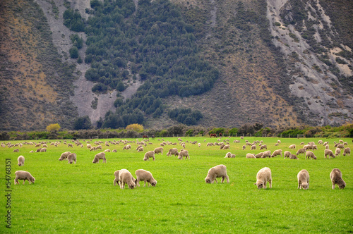 Sheep, New Zealand