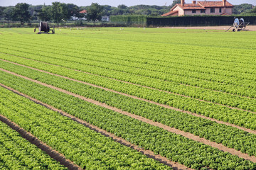 intensive cultivation of salad  in Northern Italy with vegetable