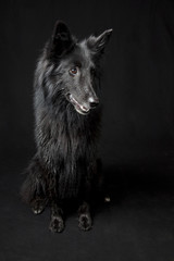 Balck German Shepherd