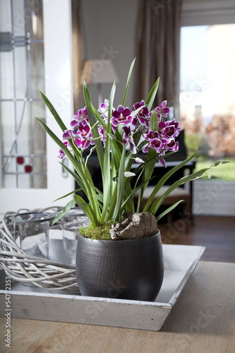 Miltonia orchid in interior