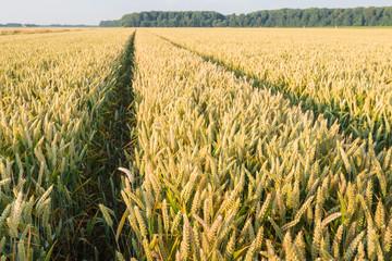 Ripening wheat in a large corn field