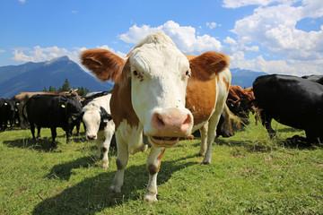 Kühe bei Imst. Tirol