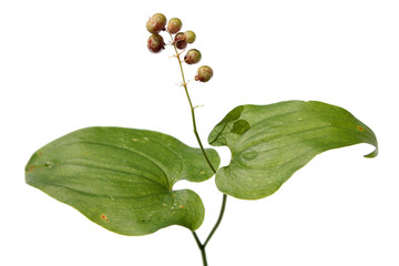 Maianthemum bifolium (May lily) with immature berries
