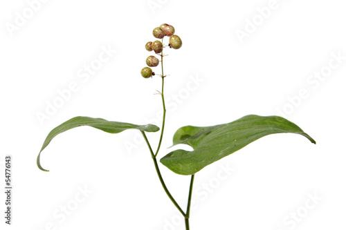 Maianthemum bifolium (May lily) with immature berries
