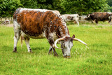Longhorn Cattle Grazing