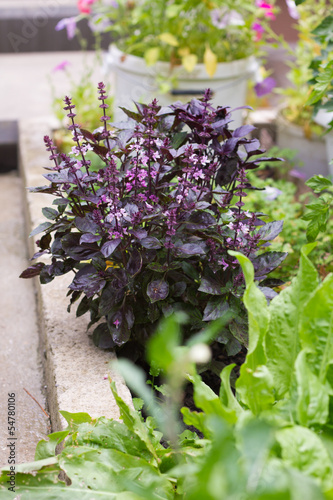 Purple basil in the garden